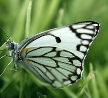 """The grass is my home... """"Brown-veined White butterfly"""" (Belenois aurota) Free State, South Africa by Qnita"""