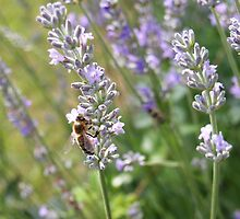 Bee on lavender by newfan