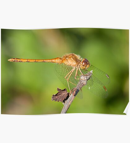 Sweet Dragonfly Poster