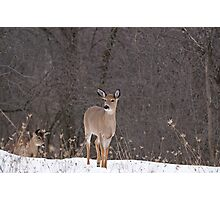 Doe and Friend Photographic Print