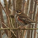Redwing by Robert Abraham