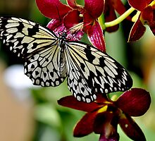Butterfly & Orchids  by Judy Grant