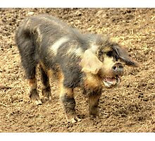 Ernie, The Incredibly Hairy Laughing Pig Photographic Print