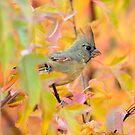 Cardinal in Fall Foliage by Daniel  Parent