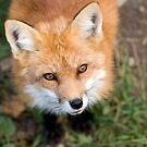 Friendly Fox by Daniel  Parent