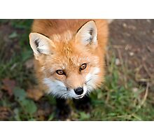 Friendly Fox Photographic Print