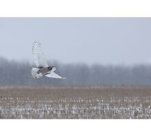 Snowy Owl takes flight Photographic Print