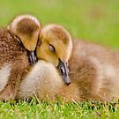 Cuddling Goslings  by Daniel  Parent