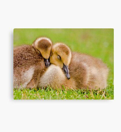 Cuddling Goslings  Canvas Print
