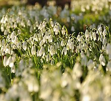 Time for the Snowdrops by Neil Cox