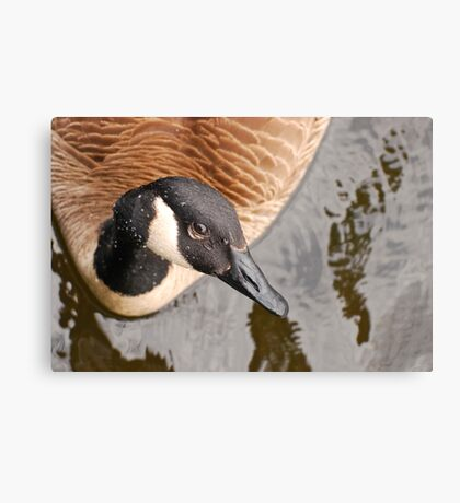 Canada Goose Eh! Canvas Print