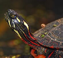 Painted Turtle Portrait  by Daniel  Parent