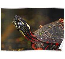 Painted Turtle Portrait  Poster