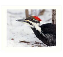 Snow Walking Pileated Woodpecker  Art Print