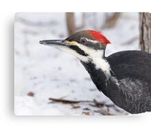 Snow Walking Pileated Woodpecker  Metal Print