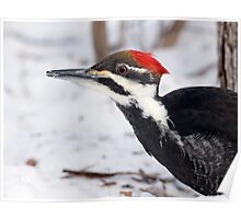 Snow Walking Pileated Woodpecker  Poster