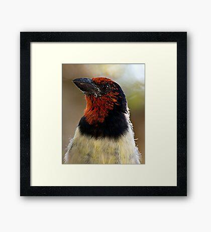 Black Collared Barbet Close Up Framed Print