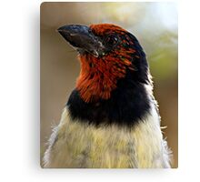 Black Collared Barbet Close Up Canvas Print