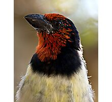 Black Collared Barbet Close Up Photographic Print