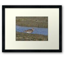 Curlew 01 Framed Print