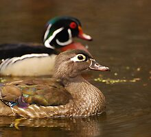 Wood Duck Courtship by Daniel  Parent