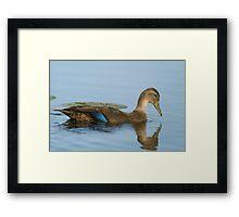 Blue-winged Teal Duck  Framed Print