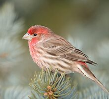 Pretty House Finch by Daniel  Parent