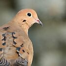 Morning Dove Gaze by Daniel  Parent