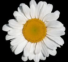 'Perfect Daisy' by Scott Bricker