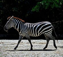 Zebra - Roger Williams Park by Poete100