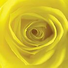 Yellow Rose by FizzyImages