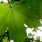 Green Leaf by FizzyImages