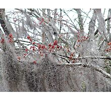 Maple Tree Buds and Spanish Moss Photographic Print