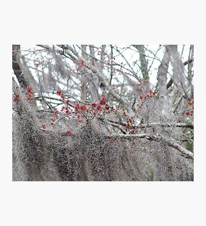 Maple Tree Buds and Spanish Moss Photographic Print