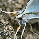White Moth by Sheri Nye