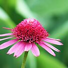 Pretty in Pinks Coneflower by Bonnie Robert
