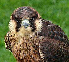 Falcon Eyes by Susie Peek