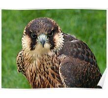 Falcon Eyes Poster