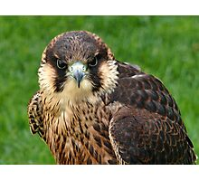 Falcon Eyes Photographic Print