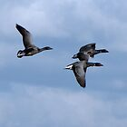 Brent Geese Overhead by Sharon Perrett