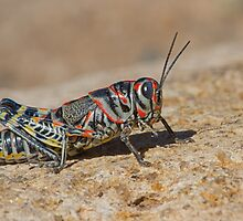 Colorful Grasshopper by William C. Gladish
