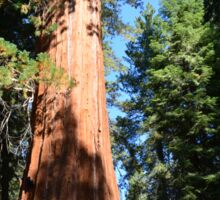 South California redwood,  giant sequoia tree. Sticker