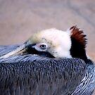 Asleep pelican by loiteke
