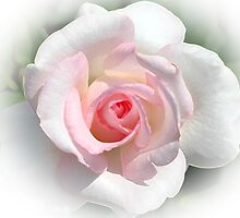 Delicate White Rose by Kathleen Struckle