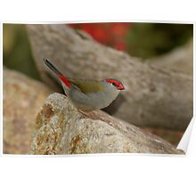 Red-browed Firetail Poster