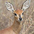 Young Male Steenbok - Up Close by Michael  Moss
