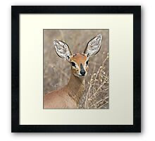 Young Male Steenbok - Up Close Framed Print