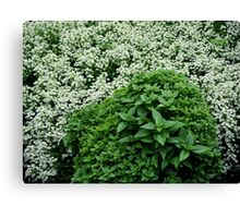 Sweet Basil Canvas Print