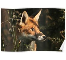 Fox cub in early morning light Poster