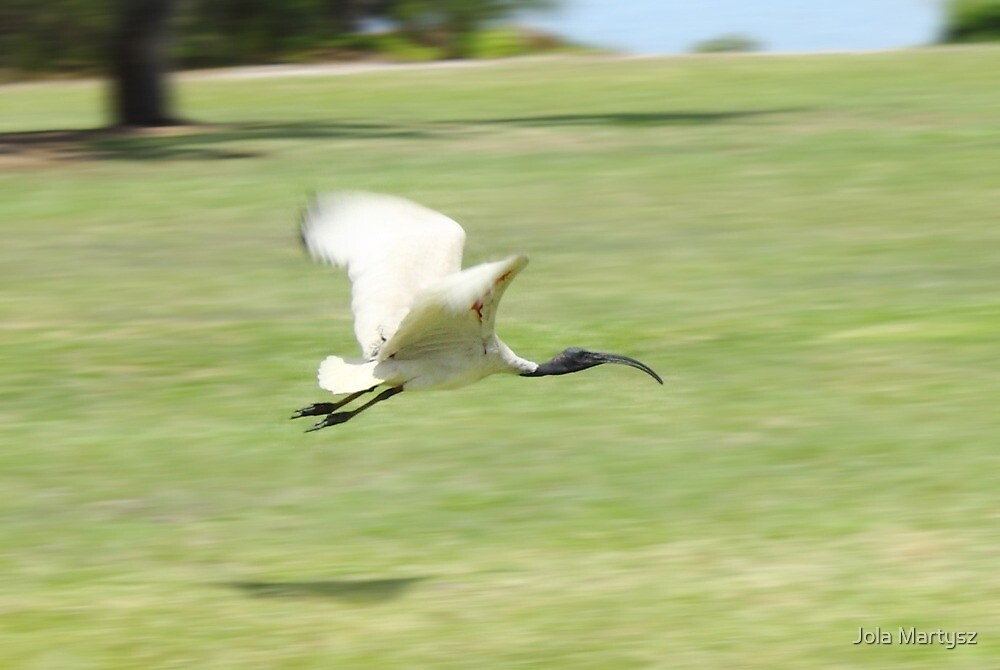 Flying Ibis by Jola Martysz